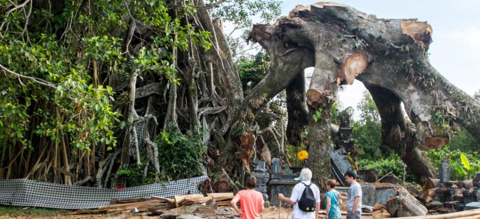 Broken Banjan tree
