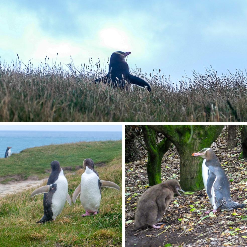 Kaitiki point pinguins